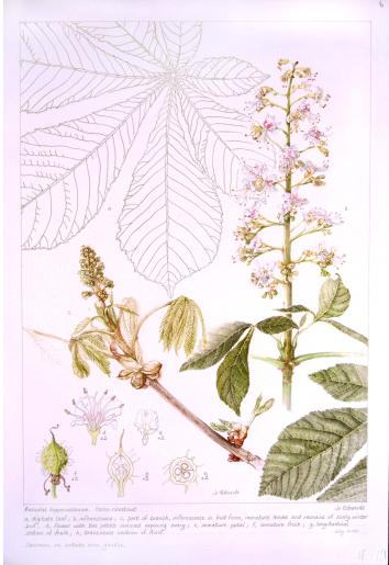 Aesculus hippocastanum, by Jo Edwards