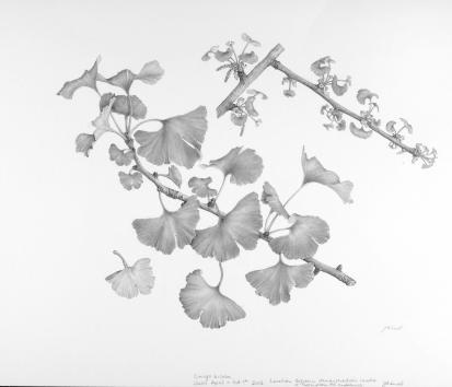 Ginkgo biloba, by Julie Small