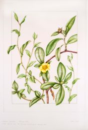 Hibbertia scandens, by Valerie Oxley