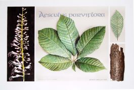 Aesculus parviflora, by Gordon Bartley