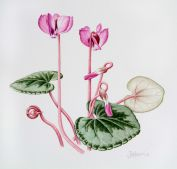 Cyclamen coum, by Jenny Harris