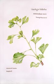 Ginkgo biloba, by Lesley Badger
