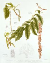 Pterocarya franxinifolia, by Pamela Furniss