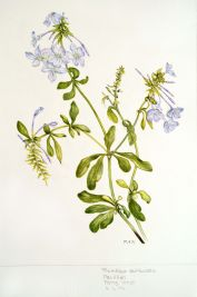 Plumbago auriculata, by Patricia Hirst