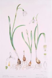Galanthus nivalis, by Valerie Oxley