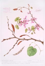 Cercis siliquastrum, by Jo Edwards