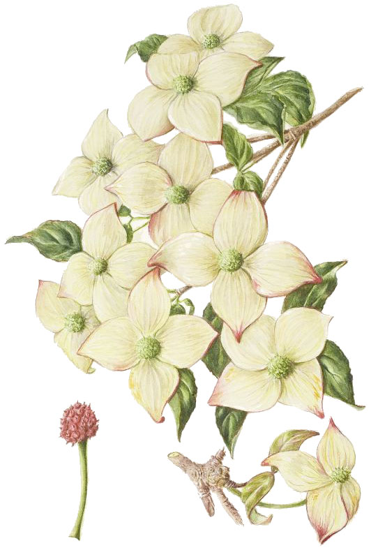 Cornus kousa 'China Girl', by Mary Acton