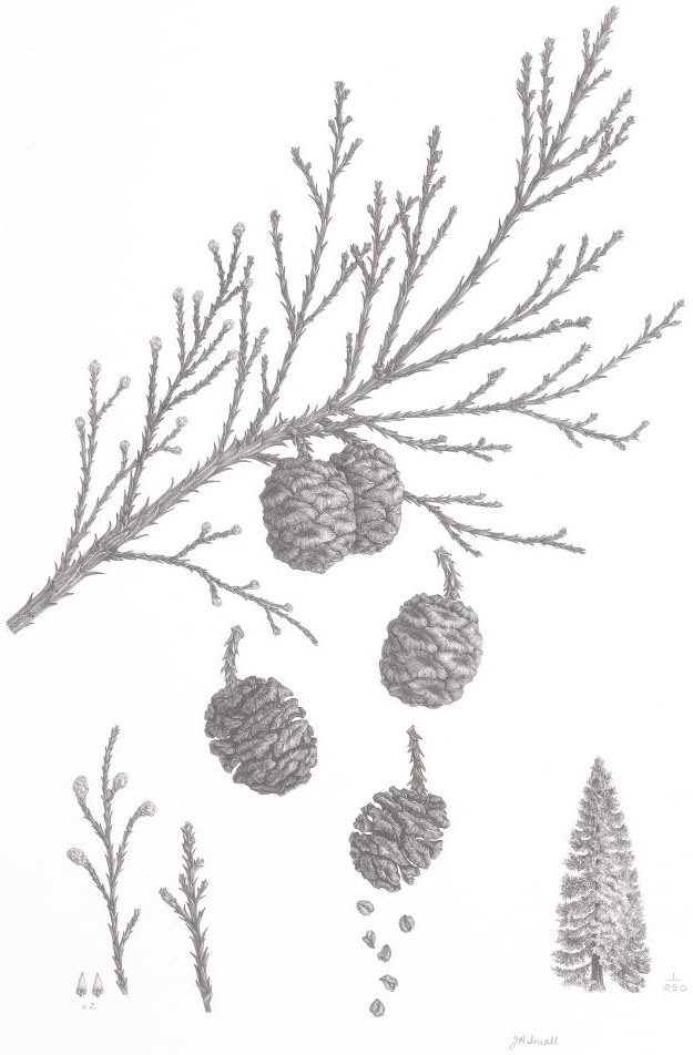 Sequoiadendron giganteum, by Julie Small