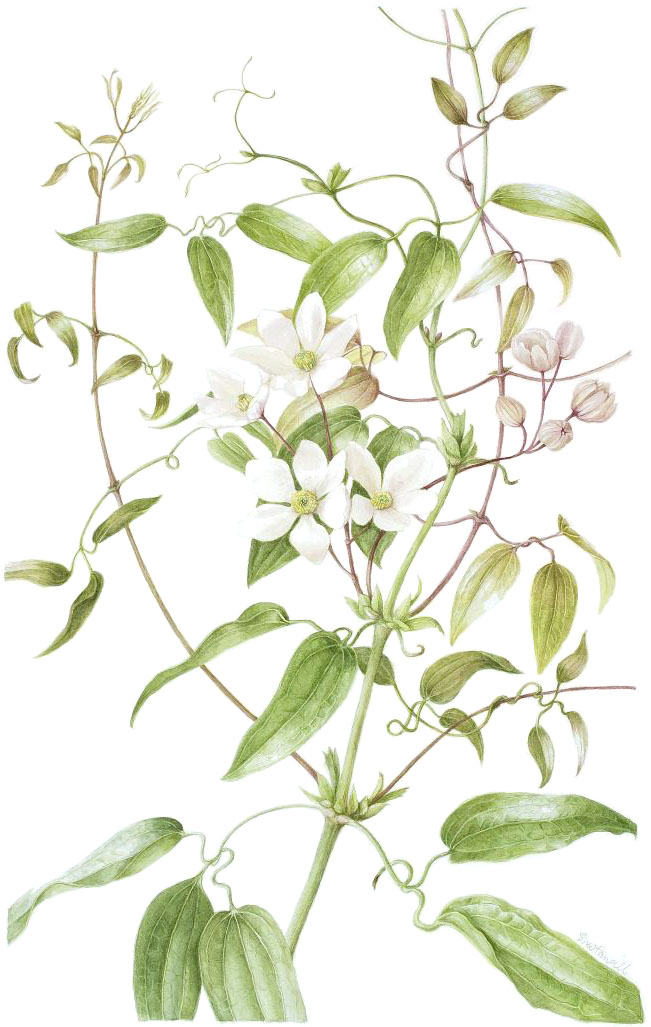 Clematis armandii, by Sheila Stancill