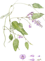 Hardenbergia violaceae, by Jo Edwards