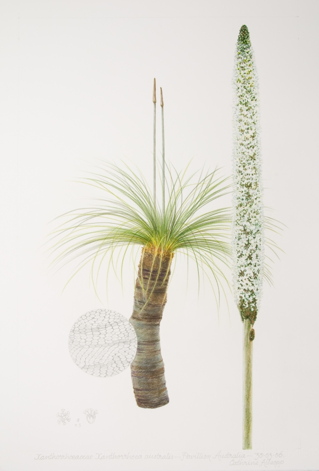 Xanthorrhoea australis, by Cathrine Allsopp