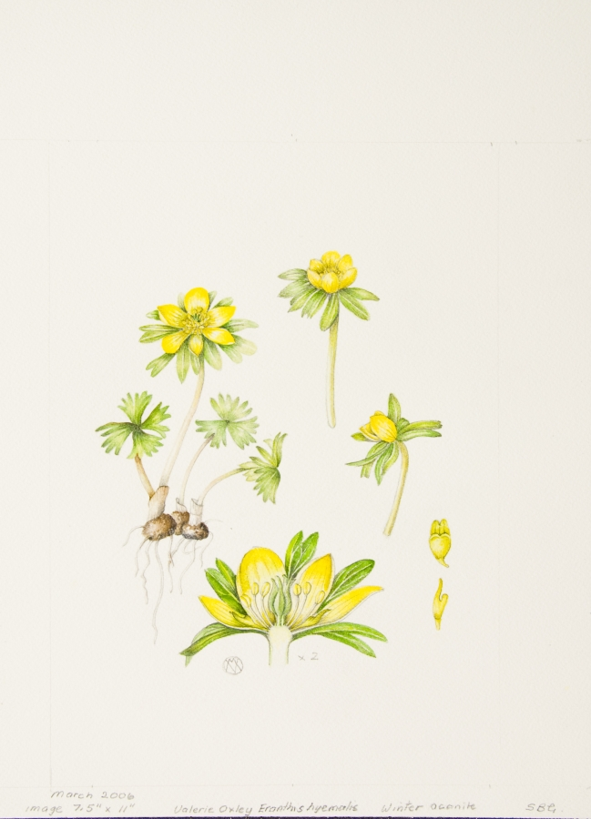 Eranthis hyemalis, by Valerie Oxley