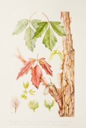 Acer griseum, by Sheila Stancill