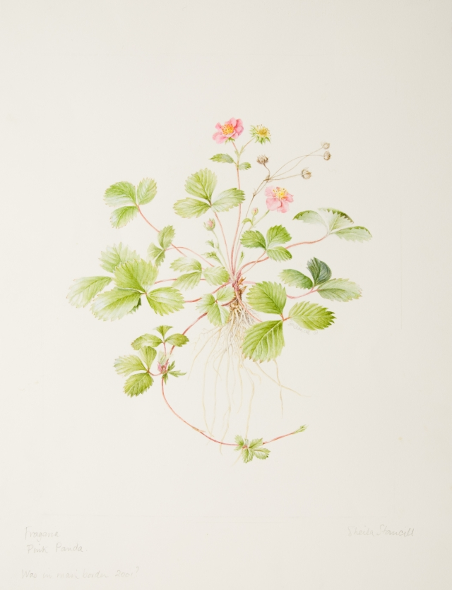 "Fragaria ""Pink Panda"", by Sheila Stancill"