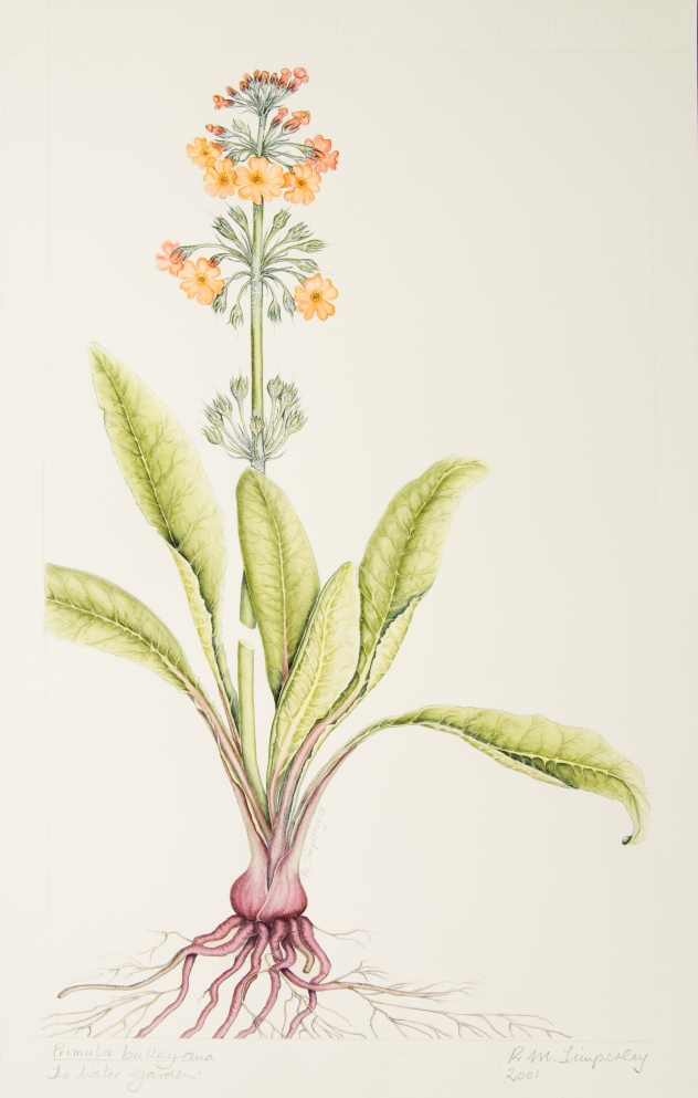 Primula bulleyana, by Rosalind Timperley