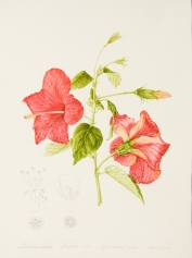Hibiscus rosa-sinensis, by Pamela Furniss