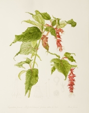 Leycesteria formosa, by Pamela Furniss