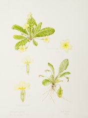 Primula vulgaris, by Judyth Pickles