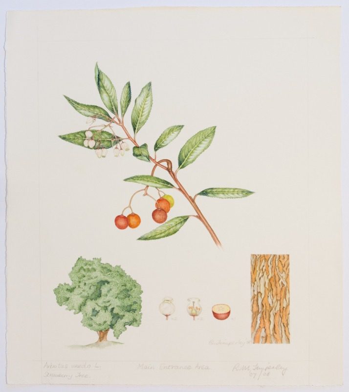 Arbutus unedo, by Rosalind Timperley