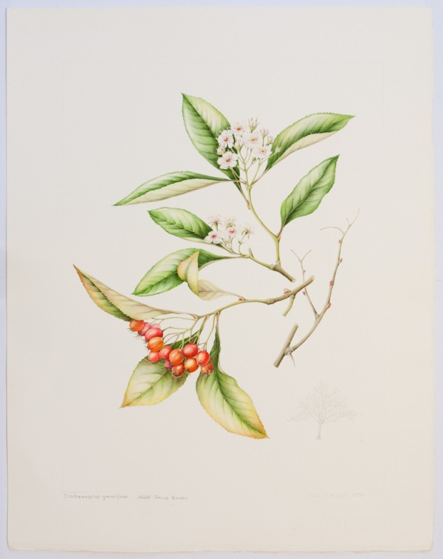 x Crataemespilus grandiflora, by Sally Strawson