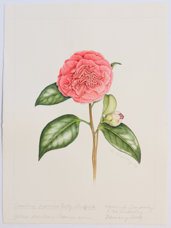"Camellia japonica ""Betty Sheffield"", by Rosalind Timperley"