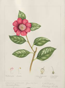Camellia japonica 'Anemoniflora', by Rosalind Timperley