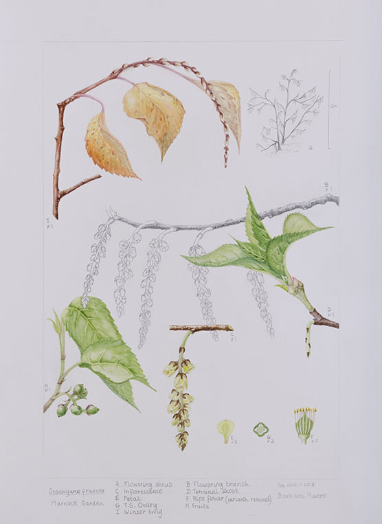 Stachyurus praecox, by Barbara Munro