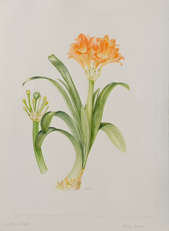 Clivia miniata, by Mary Acton