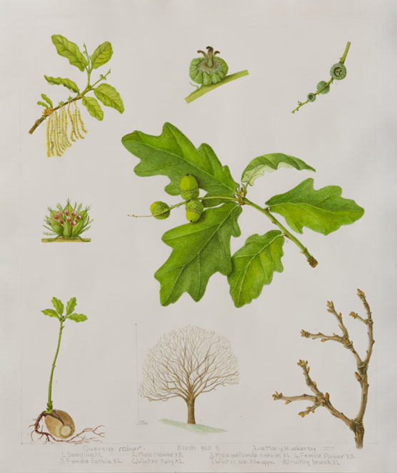 Quercus robur, by June Mary Huckerby