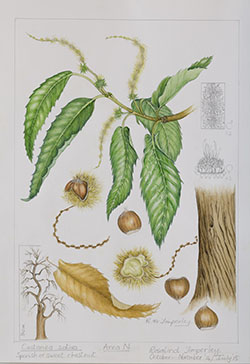 Castanea sativa, by Rosalind Timperley